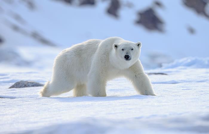 Oso polar con mensaje, en Rusia. Foto: Shutterstock