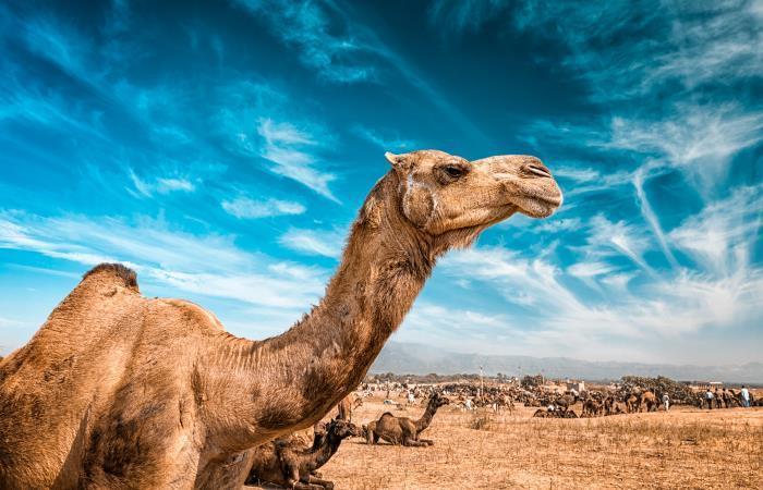 EnAustralia hay hasta 1,2 millones de camellos salvajes. Foto: Shutterstock.