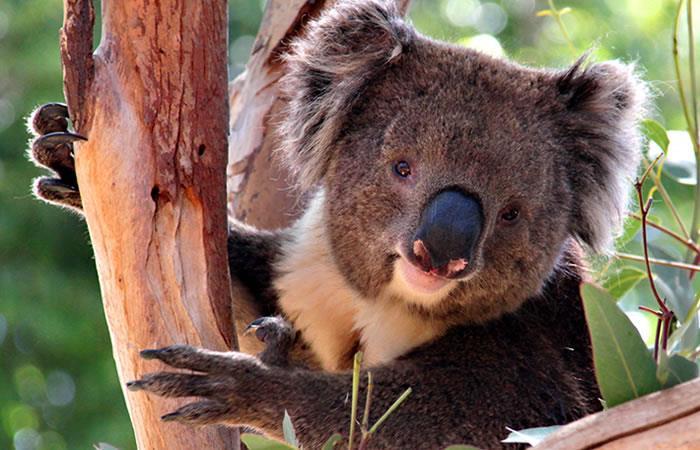 Más de 450 millones de koalas han muerto a raíz de los incendios en Australia. Foto: Shutterstock.