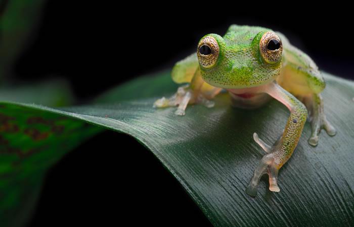 Reapareció la 'rana de cristal' que se creía extinta. Foto: Shutterstock