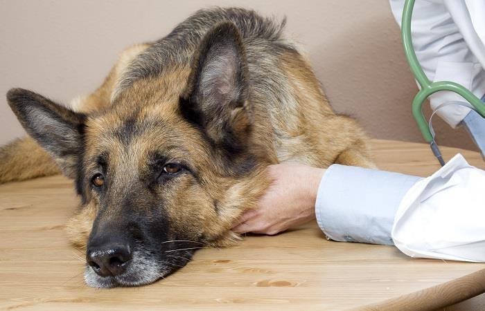 Las garrapatas victima letal para nuestras mascotas. Foto: shutterstock