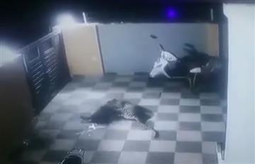 ¿Sobrevivió? En un video quedó registrado el ataque de un jaguar a un perro