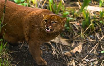 Un puma Yaguarundí en extinción apareció en el patio de una casa, en La Paz