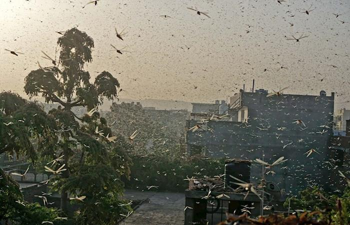 Esta plaga de langostas es la mayor en setenta años. Foto: EFE