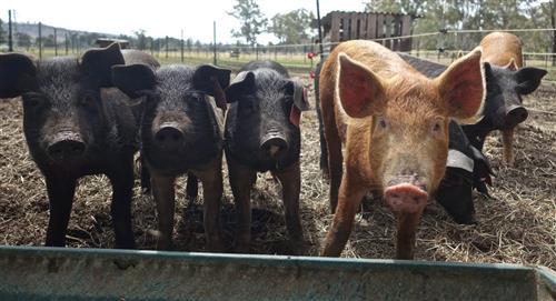Científicos chinos alertan de gripe porcina que podría transmitirse a humanos