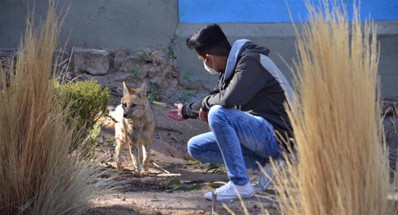 El zorro Antonio será devuelto al zoológico de Oruro. Foto: ABI
