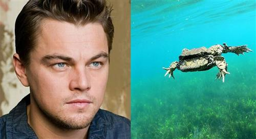 Leonardo DiCaprio se une a la campaña por la conservación de la rana gigante del lago Titicaca