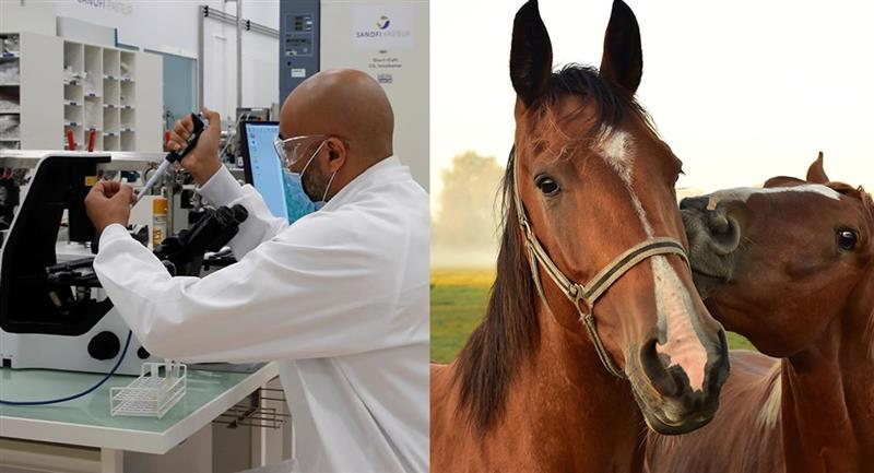 El proceso comenzó cuando a un grupo de caballos se les efectuaron inmunizaciones con combinaciones de proteínas del coronavirus. Foto: EFE y Pixabay