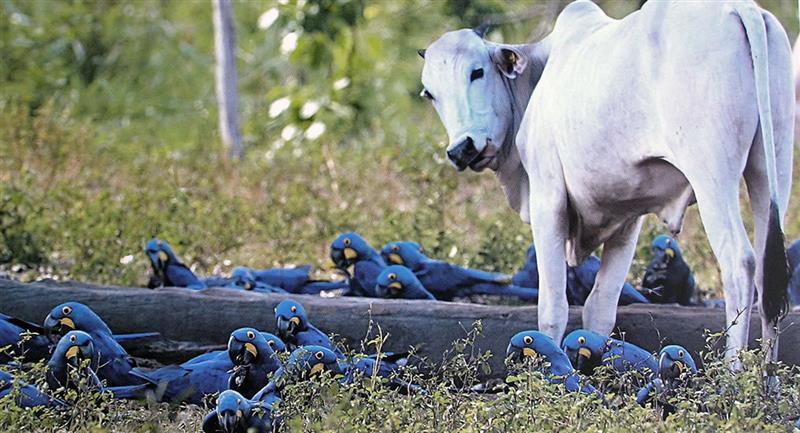 Guacamayos azules junto a un cebú, en el estado Mato Grosso (Brasil). Foto: EFE