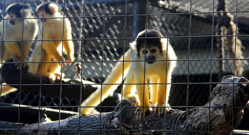 Mono del zoológico de Santa Cruz. Foto: EFE