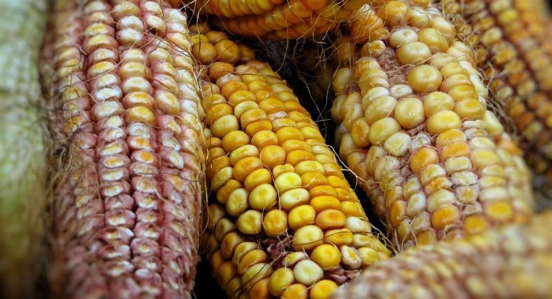 El Decreto Supremo 4348 regula el cultivo de maíz. Foto: Pixabay