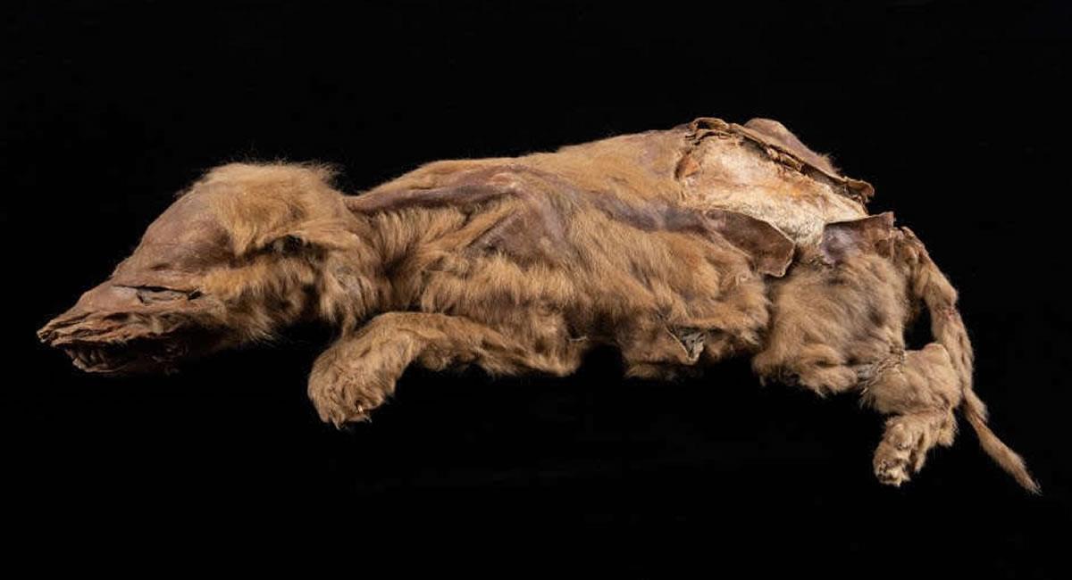 Fue un minero quien halló a esta cachorra perfectamente conservada