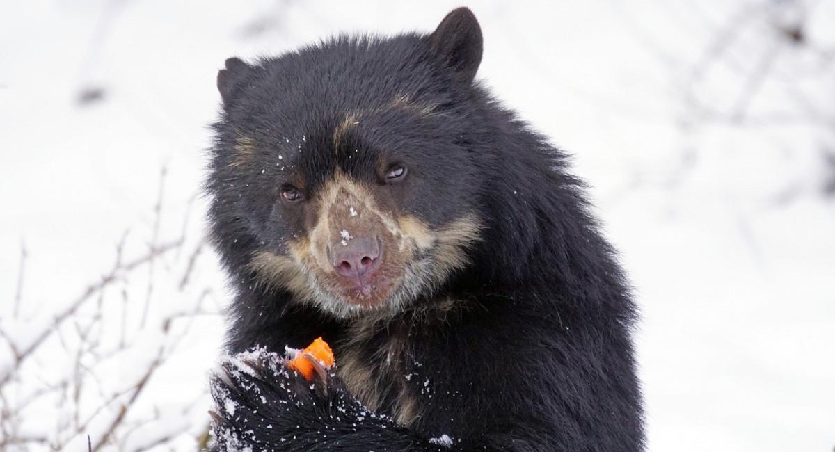 El oso andino o jucumari , una especie vulnerable en Bolivia. Foto: Pixabay