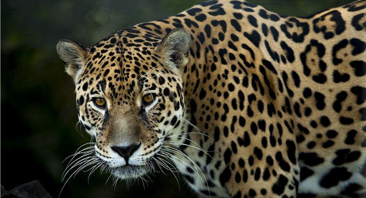 Imagen de un jaguar. Foto: Pixabay