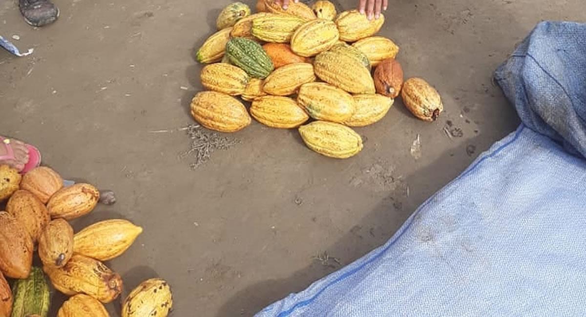 Producción de cacao en Bolivia. Foto: ABI