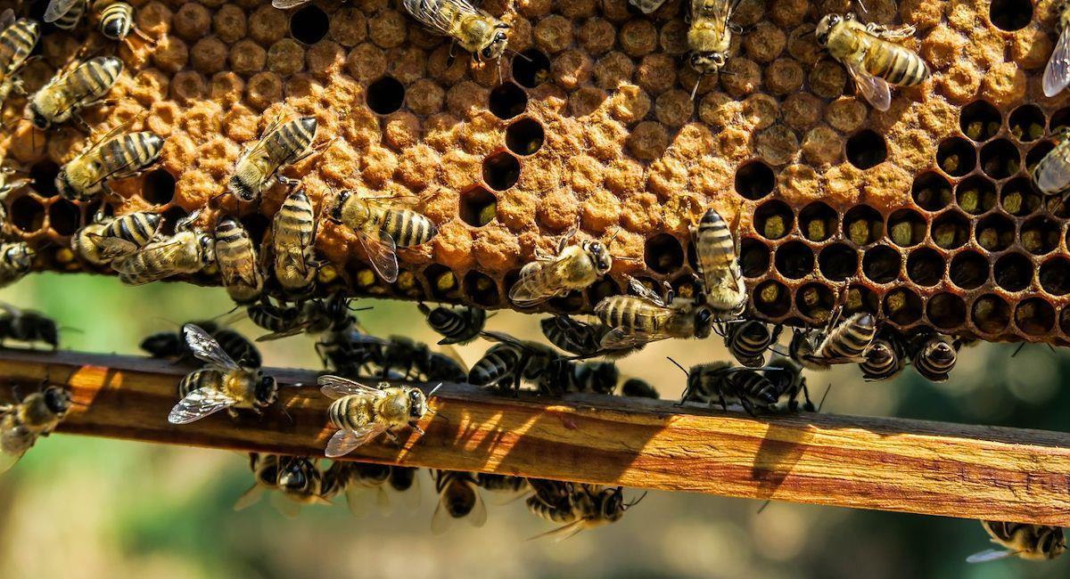 Panal de abejas. Foto: Pixabay