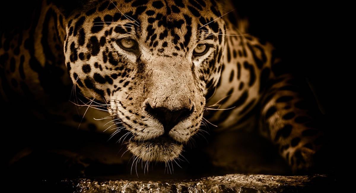 Este carnívoro ha perdido aproximadamente el 50% de su rango de distribución. Foto: Pixabay
