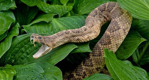 Hallan veneno de serpiente que tendría acción sobre la COVID-19